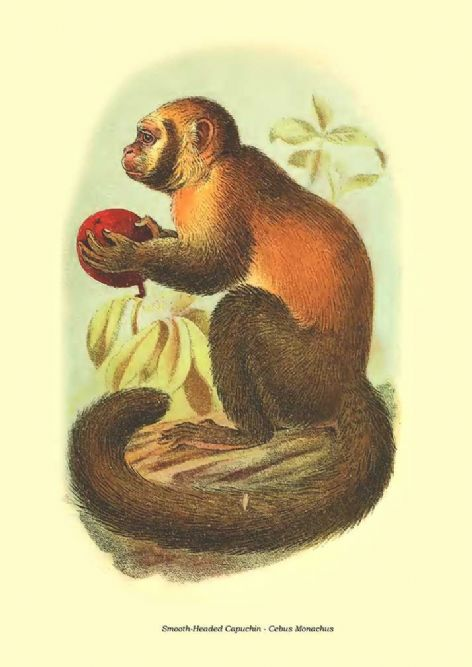 Fine art print of the Smooth-Headed Capuchin - Cebus Monachus by Henry Ogg Forbes (1896)